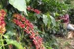Unos cien mil extranjeros a cortar café en Honduras