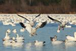 Dos mil gansos blancos caen muertos desde el cielo en Estados Unidos